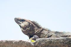 晒日光浴在奇琴伊察废墟的鬣鳞蜥 免版税库存图片