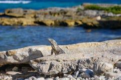 晒日光浴在岩石的鬣鳞蜥蜥蜴在玛雅废墟 里维埃拉玛雅人,金塔纳罗奥州,墨西哥 库存照片