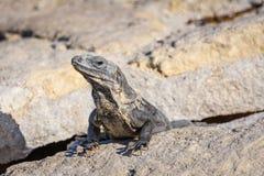 晒日光浴在岩石的鬣鳞蜥蜥蜴的特写镜头画象在玛雅废墟 里维埃拉玛雅人,金塔纳罗奥州,墨西哥 库存图片