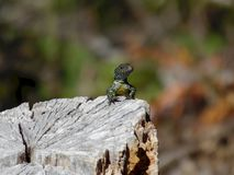 晒日光浴在树桩的蜥蜴 免版税库存图片
