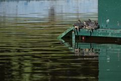 晒日光浴在池塘中间的乌龟 库存照片