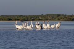 晒日光浴在河的白色和棕色鹈鹕 免版税图库摄影