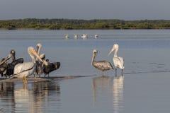 晒日光浴在河的白色和棕色鹈鹕 免版税库存照片