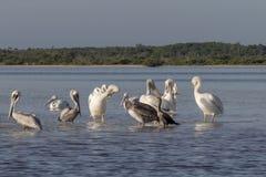 晒日光浴在河的白色和棕色鹈鹕 库存图片