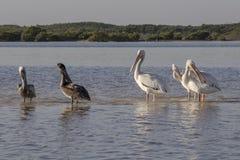 晒日光浴在河的白色和棕色鹈鹕 免版税库存图片