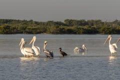晒日光浴在河的白色鹈鹕和cormoran 库存图片