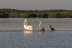 晒日光浴在河的白色鹈鹕和cormoran 免版税图库摄影