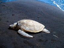 晒日光浴在海滩的夏威夷绿浪乌龟 免版税库存照片