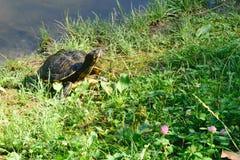 晒日光浴在的逗人喜爱的小的乌龟湖岸 免版税库存图片