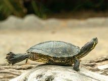 晒日光浴在石头的意想不到的海龟 免版税库存图片