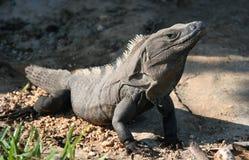 晒日光浴巨大的鬣鳞蜥 库存照片
