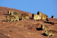 晒日光浴早期的非洲蹄兔早晨的岩石 库存图片