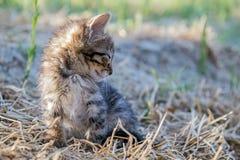 晒日光浴灰色小的小猫 免版税图库摄影