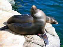 晒日光浴由水池的海狮 太平洋的水族馆,长滩,加利福尼亚,美国 库存图片