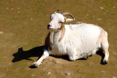 晒日光浴的山羊 图库摄影