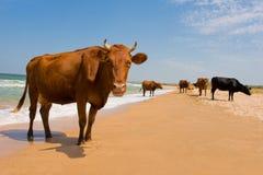 晒日光浴的母牛 免版税图库摄影