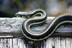 晒日光浴的花纹蛇 免版税库存图片