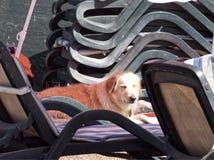 晒日光浴的金毛猎犬 免版税图库摄影