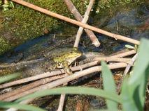晒日光浴的青蛙 免版税库存图片