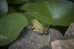 晒日光浴的青蛙 免版税库存照片