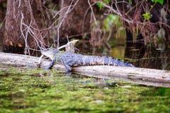 晒日光浴的鳄鱼 免版税图库摄影