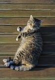 晒日光浴的Tomcat 免版税库存图片