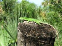 晒日光浴绿色的鬣鳞蜥 图库摄影
