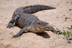 晒日光浴佛罗里达的鳄鱼 免版税库存照片