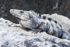 晒日光浴在岩石的鬣鳞蜥 免版税库存照片