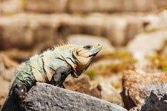 晒日光浴在自然生态环境,墨西哥的巨晰属 免版税库存照片