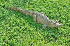 晒日光浴在玻璃的鳄鱼 免版税库存图片