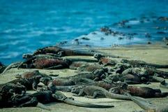 晒日光浴在floreana海岛galpagos的鬣鳞蜥 免版税图库摄影