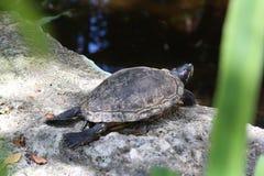 晒日光浴懒惰的乌龟外面 库存照片