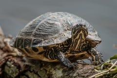 晒日光浴的乌龟 图库摄影