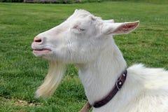 晒日光浴的山羊 免版税库存图片