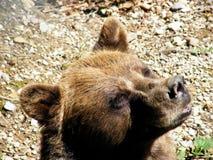 晒日光浴的棕熊 免版税库存图片