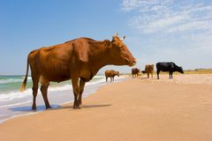 晒日光浴的母牛 库存照片