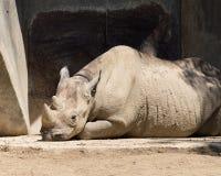 晒日光浴的犀牛 免版税库存照片