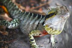 晒日光浴的蜥蜴 库存图片