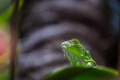 晒日光浴的蜥蜴 免版税库存照片