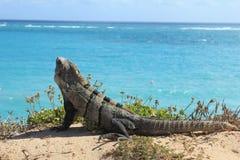 晒日光浴的鬣鳞蜥 免版税库存图片