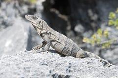 晒日光浴的鬣鳞蜥 免版税库存照片