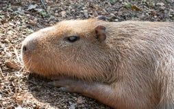 晒日光浴的水豚 免版税库存照片