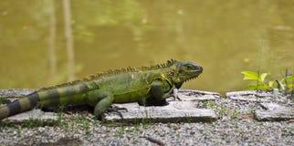 晒日光浴绿色的鬣鳞蜥 免版税库存照片