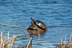 晒日光浴被绘的乌龟 免版税库存图片