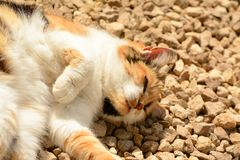 晒日光浴年长Tortoishell的猫 免版税库存图片