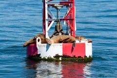 晒黑在一个港口浮体的封印在新港海滨加利福尼亚 免版税库存照片