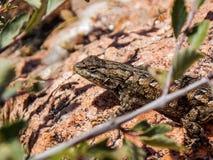 晒黑在岩石的篱芭蜥蜴 库存照片