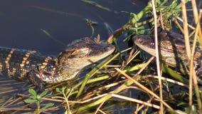 晒黑在沼泽的小鳄鱼 影视素材