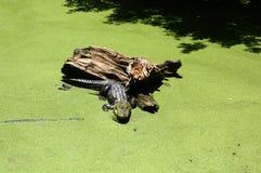 晒黑在注册沼泽的鳄鱼 免版税库存图片